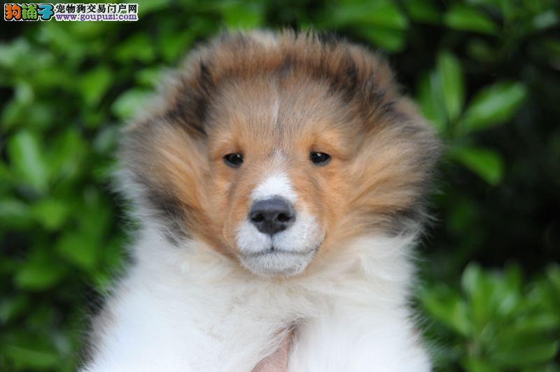 南昌自家狗场繁殖直销喜乐蒂幼犬冠军级血统品质保障