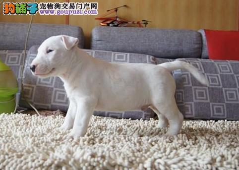 纯种 牛头梗幼犬 种公外配 签协议 支持送货上门