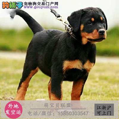 纯种罗威纳犬幼犬成都大型犬基地直销凶猛犬看家护院犬