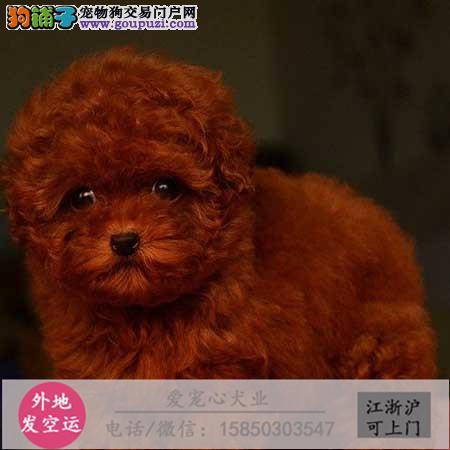 犬舍直销纯种泰迪宝宝 CKU认证绝对信誉