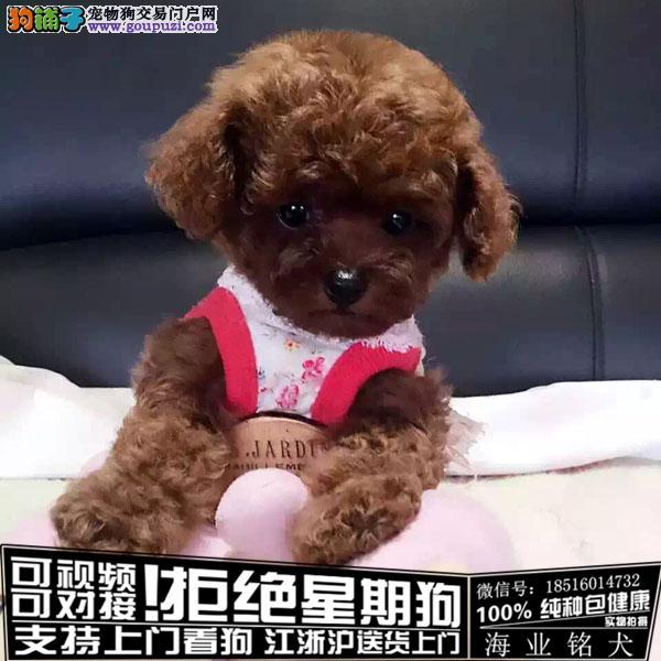 cku认证犬舍出售极品泰迪犬 签协议保健康