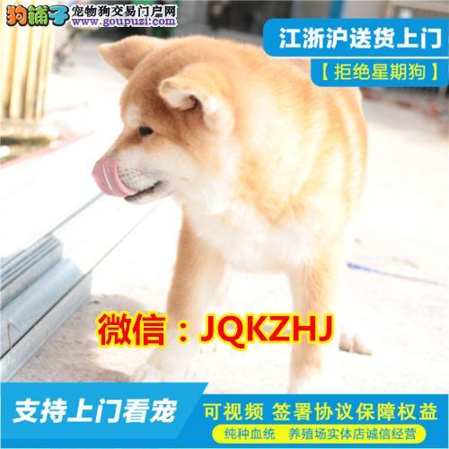 专业繁殖纯种秋田幼犬可送货上门.签协议保健康
