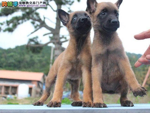 赛级马犬出售,双血统比利时马犬好养疫苗驱虫齐全
