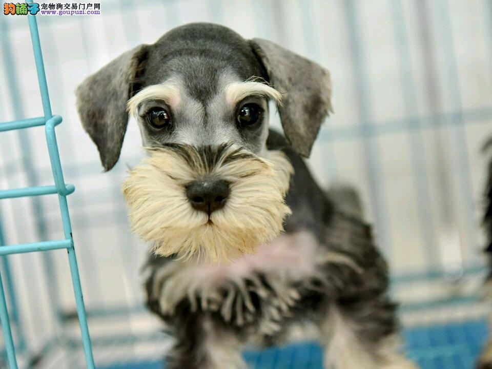 专业繁殖(雪纳瑞幼犬)可来基地挑选。签协议保健康