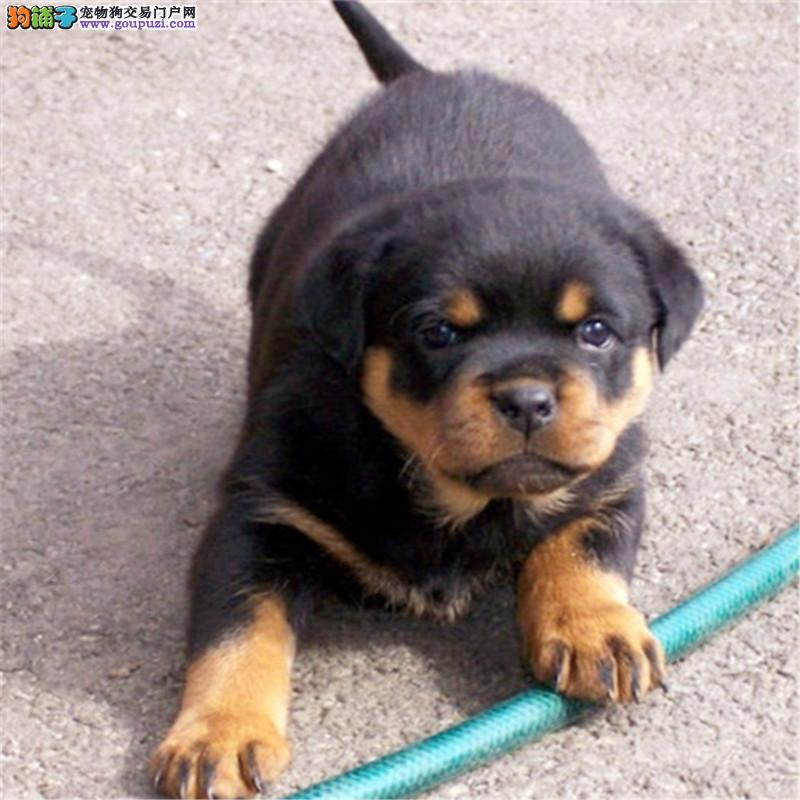 纯种德系罗威纳一猛犬看家护院首选一质量保证 签协议