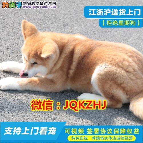 自家犬舍专业繁殖秋田犬上门看种犬当场做检查母犬