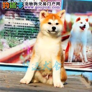 国内最具规模的赛级秋田犬犬舍,保健康 可签购犬协议2