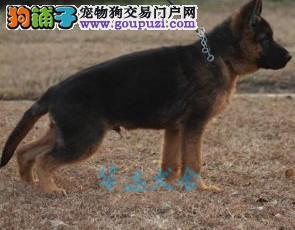国内最具规模的狼狗犬舍,保纯种保健康3