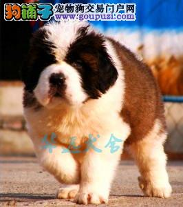 国内最具规模的专业圣伯纳繁殖犬舍,保纯种保健康2