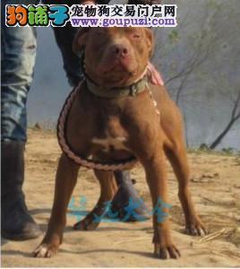 国内最具规模的比特犬犬舍,保纯种保健康3