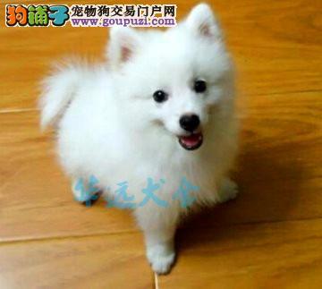 国内最具规模的银狐犬犬舍,保纯种保健康 可签协议1