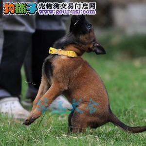 国内最具规模的专业级马犬繁殖犬舍,保纯种保健2