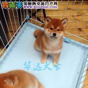 国内最具规模的赛级柴犬犬舍,保健康 可签协议2