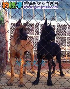 国内最具规模的大丹犬繁殖犬舍,保纯种保健康4
