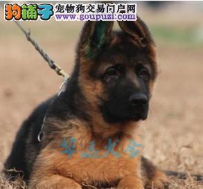 国内最具规模的狼狗犬舍,保纯种保健康1
