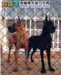 国内最具规模的大丹犬繁殖犬舍,保纯种保健康3