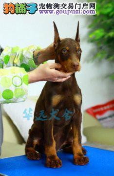 国内最具规模的赛级标准杜宾犬舍,黑色、棕色都有1