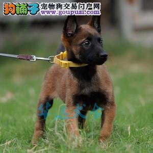 国内最具规模的专业级马犬繁殖犬舍,保纯种保健3