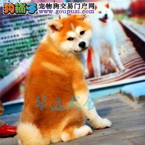 国内最具规模的赛级秋田犬犬舍,保健康 可签购犬协议1