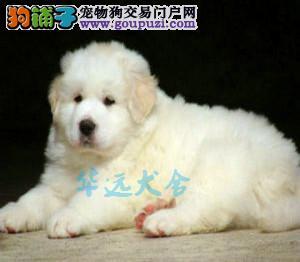 国内最具规模的大白熊繁殖犬舍,保纯种保健康1