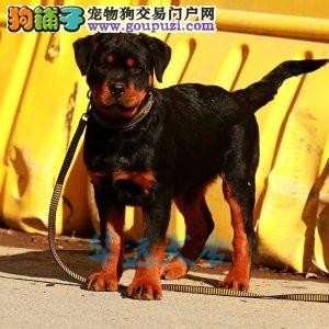 国内最具规模的高品质罗威纳犬舍,保纯种保健1