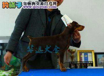 国内最具规模的赛级标准杜宾犬舍,黑色、棕色都有2