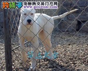 国内最具规模的高品质杜高犬犬舍,保纯种保健康2