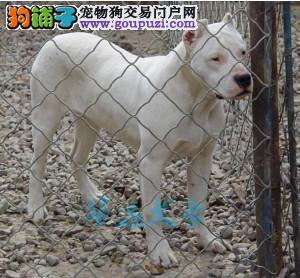 国内最具规模的高品质杜高犬犬舍,保纯种保健康