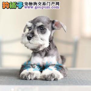 国内最具规模的专业繁殖雪纳瑞犬犬舍,保纯种保健康2