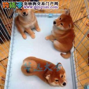 国内最具规模的赛级柴犬犬舍,保健康 可签协议1