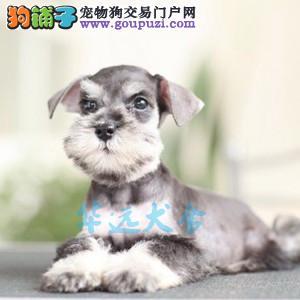 国内最具规模的专业繁殖雪纳瑞犬犬舍,保纯种保健康3
