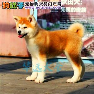 国内最具规模的赛级秋田犬犬舍,保健康 可签购犬协议3