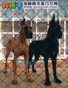 国内最具规模的大丹犬繁殖犬舍,保纯种保健康2