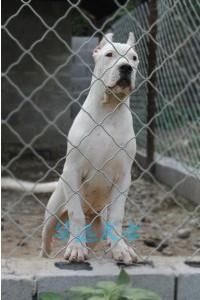 国内最具规模的高品质杜高犬犬舍,保纯种保健康3