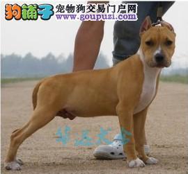 国内最具规模的比特犬犬舍,保纯种保健康2