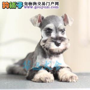 国内最具规模的专业繁殖雪纳瑞犬犬舍,保纯种保健康1
