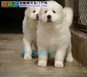 国内最具规模的大白熊繁殖犬舍,保纯种保健康2