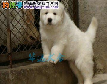 国内最具规模的大白熊繁殖犬舍,保纯种保健康3