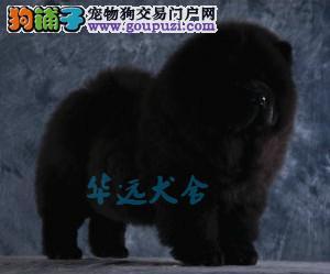 国内最具规模的赛级松狮犬舍 保健康 各颜色均有1