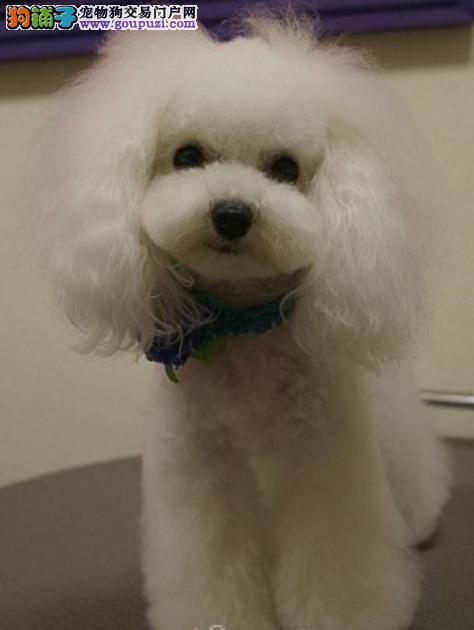 杭州出售蠢萌纯贵宾犬纯种健康 签协议  疫苗齐全