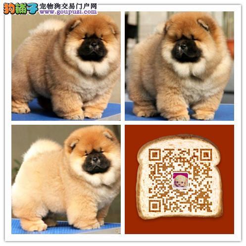 杭州出售精品肉嘴松狮幼犬,签合同包健康纯种