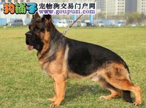 北京最大的狼狗基地、品质保障、诚信经营