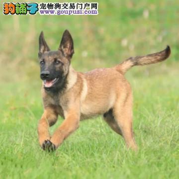 北京最大的专业级马犬犬舍、品质保障、诚信经营