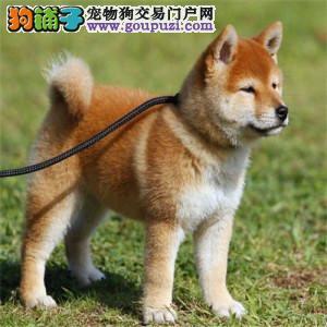 北京正规柴犬犬舍、保障健康、可全国办理托运