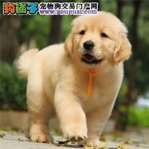 北京正规金毛犬舍、诚信为本、信誉第一、保健康