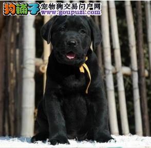 北京正规拉布拉多犬舍、诚信经营、品质保障
