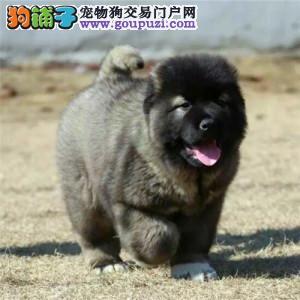 北京正规高加索犬舍、保纯度保健康、优质十佳犬舍
