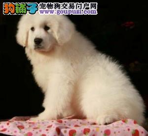 北京正规大白熊犬舍、诚信经营、保纯度保健康