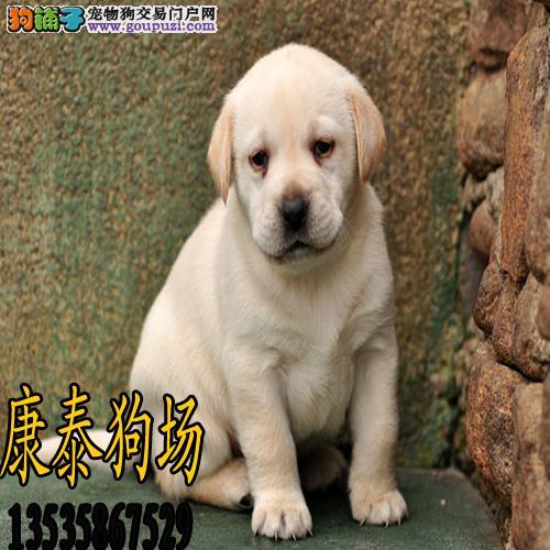 珠海犬舍       神犬拉布拉多 可送货上门