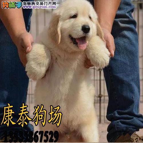 珠海犬舍     黄金战甲金毛犬 可送货上门